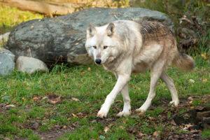 International Wolf Center